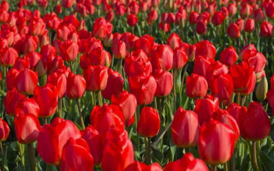 тюльпаны, цветы, картинка, тюльпанов, many, red, margin,