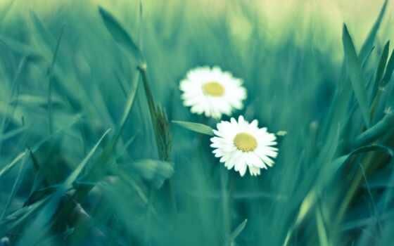 cvety, ромашки, белые, лепестки, summer, зелёный, природа, трава, растения, бутоны,