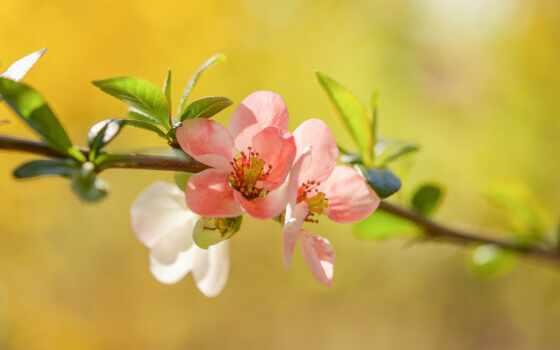 цветы, букет, красивый, gullar, тюльпан, качественные, гуль, cherry, branch, лепестки, цветение