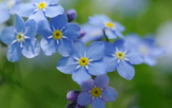 цветы, забыть, незабудка, myosotis, alpine, alpestris, нежность, природа, красавица, радость