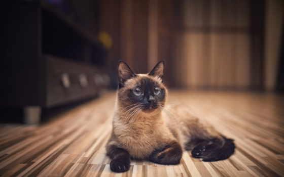 кот, сиамский, животные