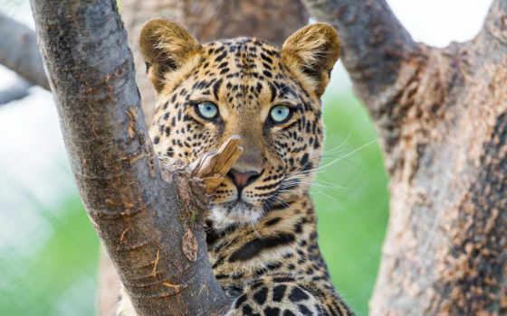 леопард, леопарда, zhivotnye, леопарды, leopards, об, природа,