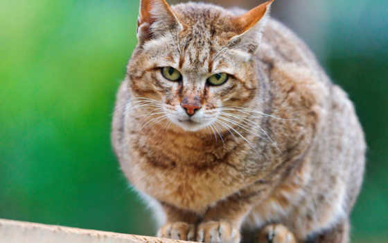 кот, wild, free, photos, stock, сайт, wildcat, silvestris, pinterest,
