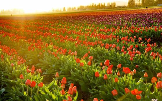 tulips, downloads, stop, taustapildid, maastik,