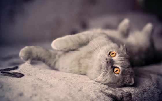 кот, british, лежит, разрешениях, разных, свет, вислоухий,