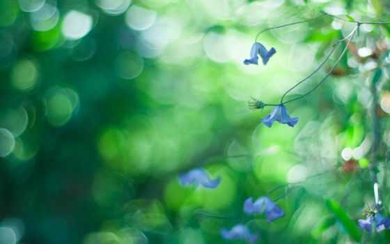 cvety, макро, боке, blue, природа, трава, крупным, планом, photograph,
