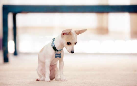 собака, dogs, чихуахуа, animal, щенок, mobile, дружелюбный, cute,