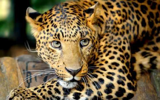 обои, леопард, животные, кошка, взгляд, глаза, бол