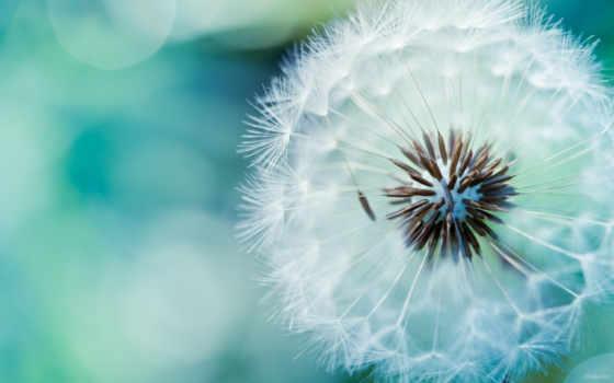 dandelion, макро