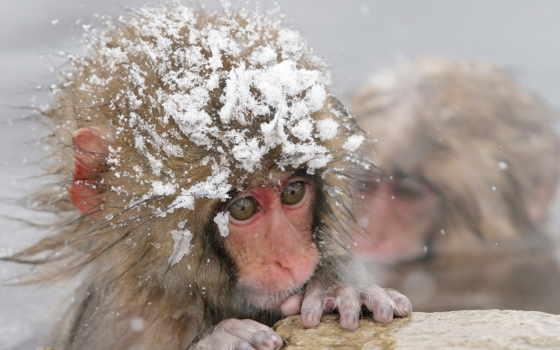 макаки, японские, обезьяны