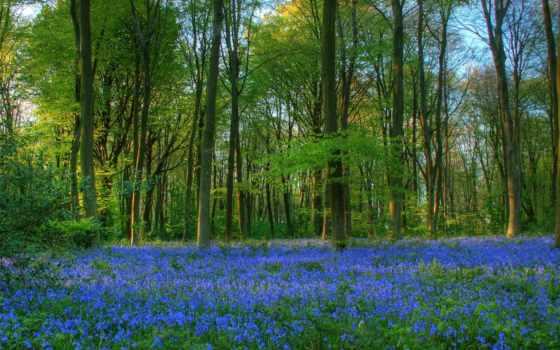 bluebells, desktop, лес