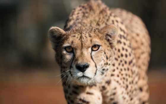 гепард, хищник, дикая