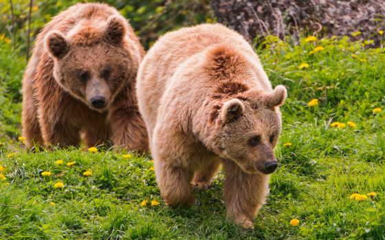 медведь, браун, взгляд, медведи, хищник, высоком, качестве, морда, природа, базе,