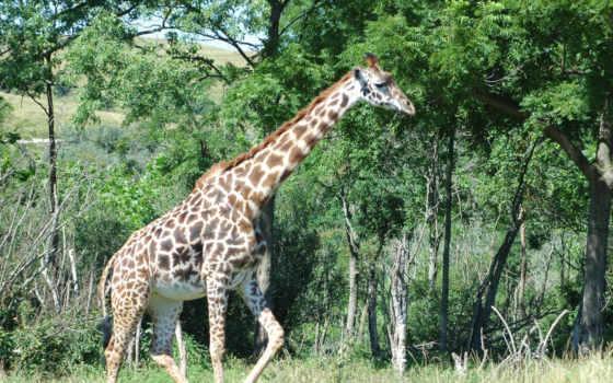 zhivotnye, жираф, телефон, жирафов, milk,