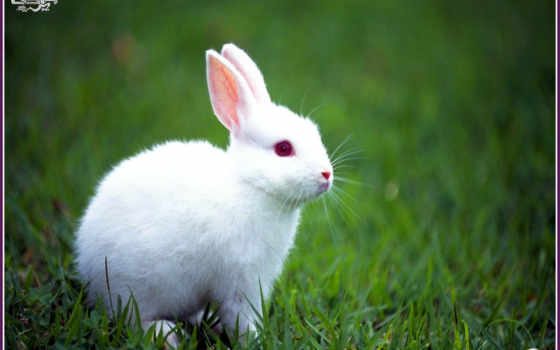 rabbit, white
