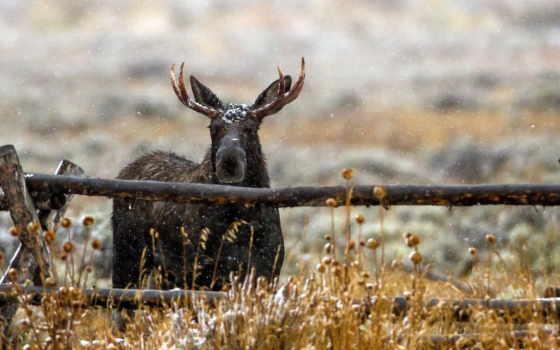лось, природа, забор, туман, снег, лоси, winter, животные, park, moose,