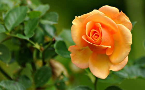 rose, peach