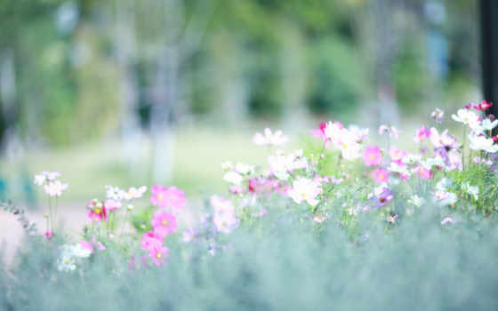 рисунки, vesna, космея, белые, розовые, поляна,