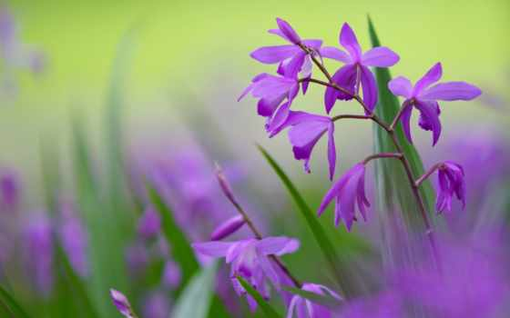 цветы, лепестки, сиреневые, салатовый, блетилла, картинка,