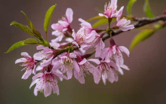 branch, цветы, Сакура