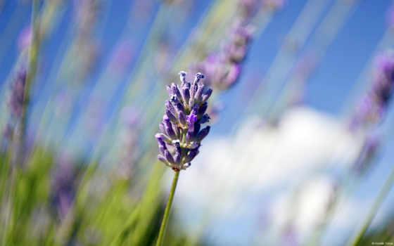 lavender, flowers, high