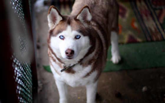 хаски, собака, свет, голубые,