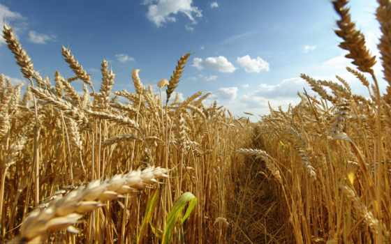поле, колоски, summer, sun, посевы, природа,