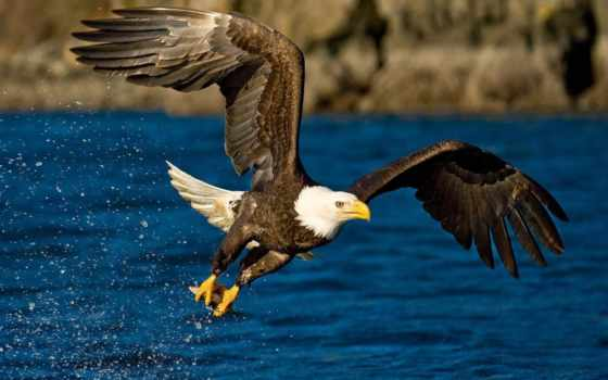 орлан, zhivotnye, фотоохота, красивые, мира, рыбачок, птицы, орла, птица, птиц, мар,