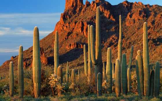 кактусы, arizona, каньон, аламо, аризоны, this, гигант, сша,