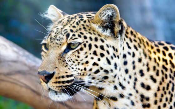 nevseoboi, десктопмания, леопард