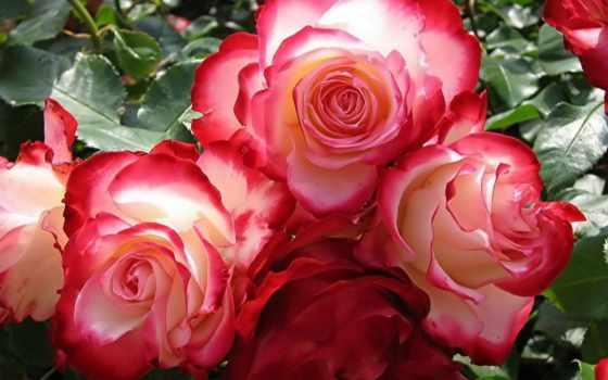 цветы, добавил, розы, соберите, цветов, пазлы, jacelyn, shutt,