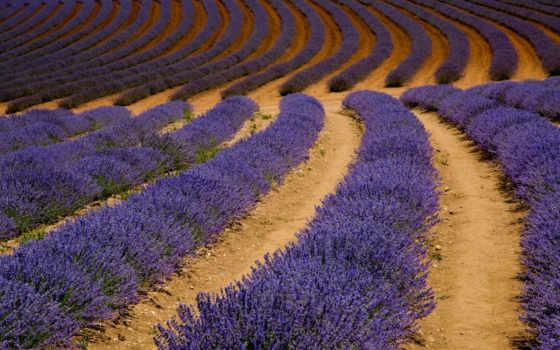 hành, nhất, lavender, zoom, desktop, lavandula, tasmania,