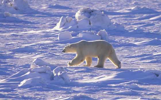 polar, медведь, zhivotnye, канада, images, северном, полюсе, bears, ночь, pinterest,