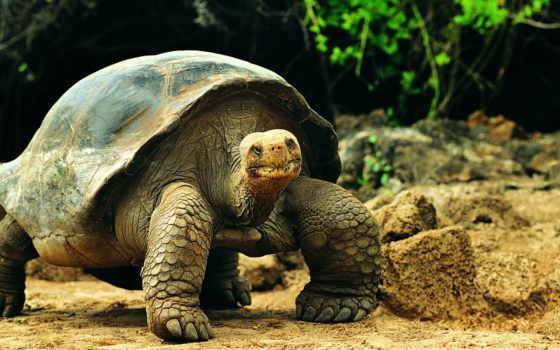 черепаха, панцирь