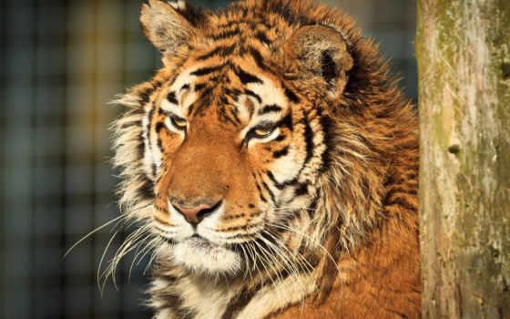 тигра, тигр, amur, день, хищники,