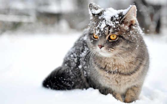 кошки, кот, снег, winter, zhivotnye, qapper, снегу, дикая, без,
