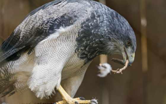 птиц, звуки, buzzard, пение, птица, природы, голоса, youtube, хищная, птички,