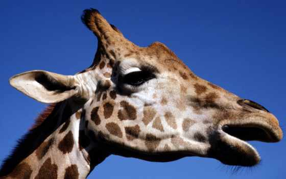 zürafa, wallpapyrus, жираф, подробнее,