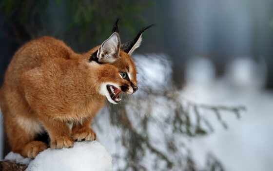 caracal, фокс, animal, red, взгляд, rate
