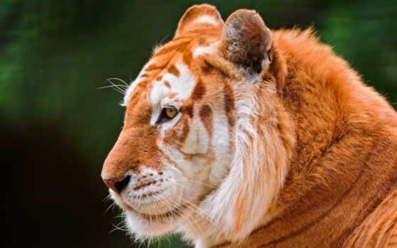 золотой, тигр