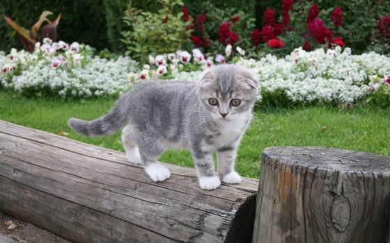 котенок, серый, вислоухий, британских, котят, sn, pretty, forum, кошек, пестрый,