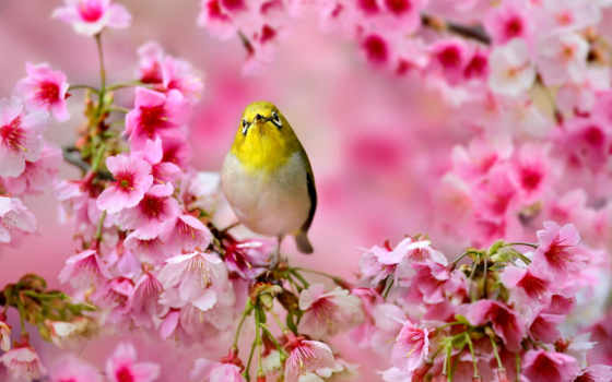 весна, птичка, белоглазка, Сакура, дерево, природа, cvety, понская, сидит, птицы,