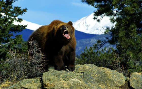 медведь, медведя, медведи