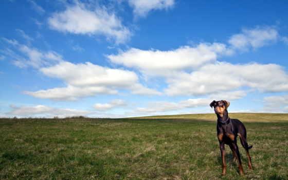 собака, brouwer, art, доберман, прогулка, taxi, ipad, авиакатастрофа, free,