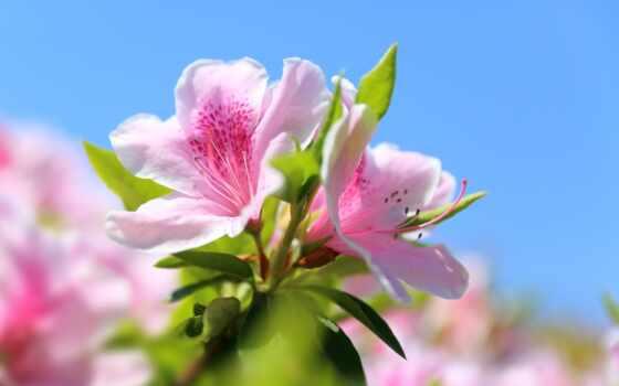 азалии, нежность, рододендрон, japanese, цветы, makryi