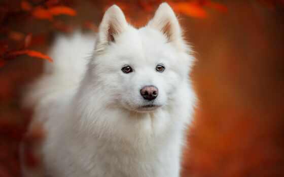 собака, шпиц, white, samoyed, japanese
