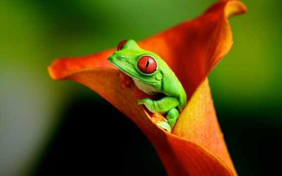 лягушка, цветок