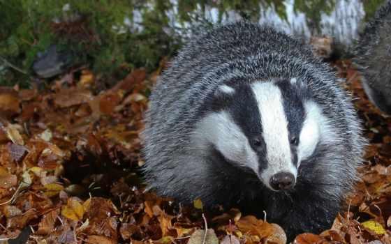 badger, высоком, листья