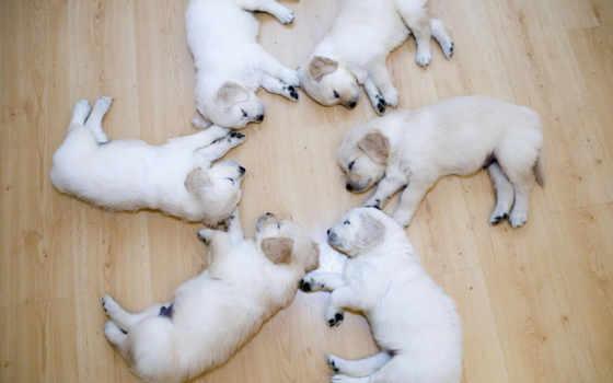 лабрадоры, labrador, щенки