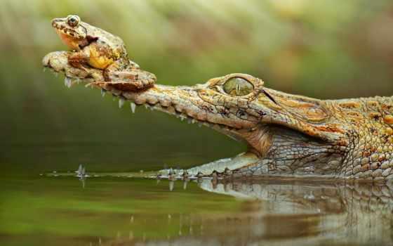 крокодил, лягушка, free, свой, snout,